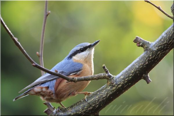 boomklever , Sitta europaea , Eurasian Nuthatch