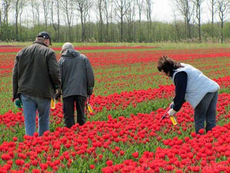 Tulpen met een luchtje