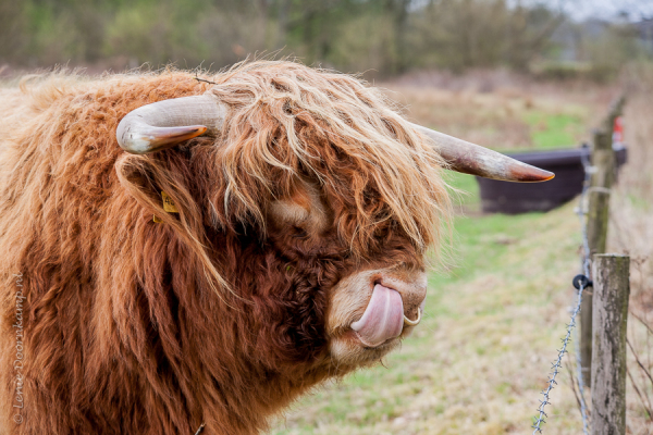 Highland cow is nose-picking