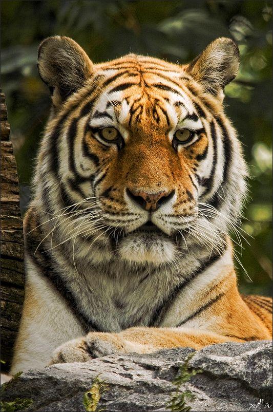 La pose du tigre