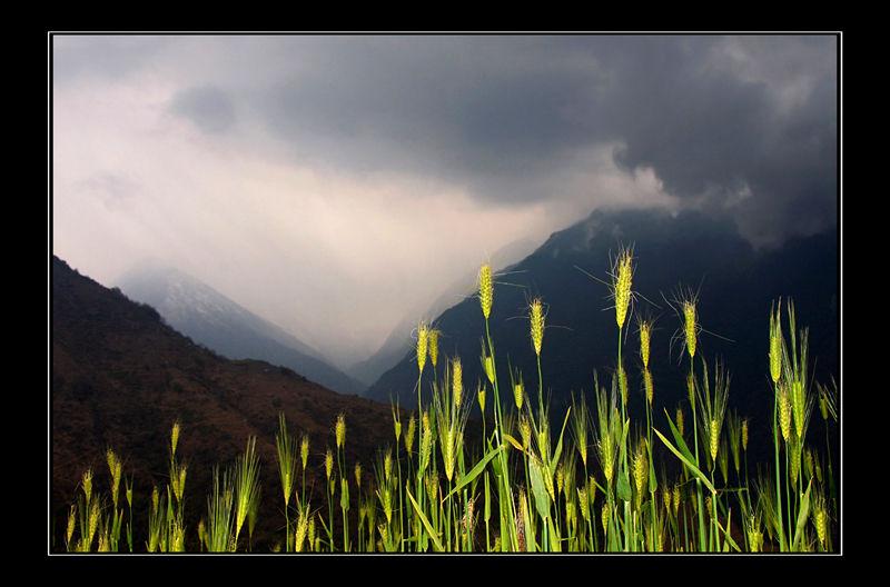 Le blé en herbe