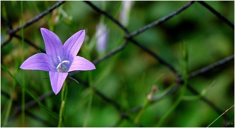 Une modeste fleur franchit un grillage