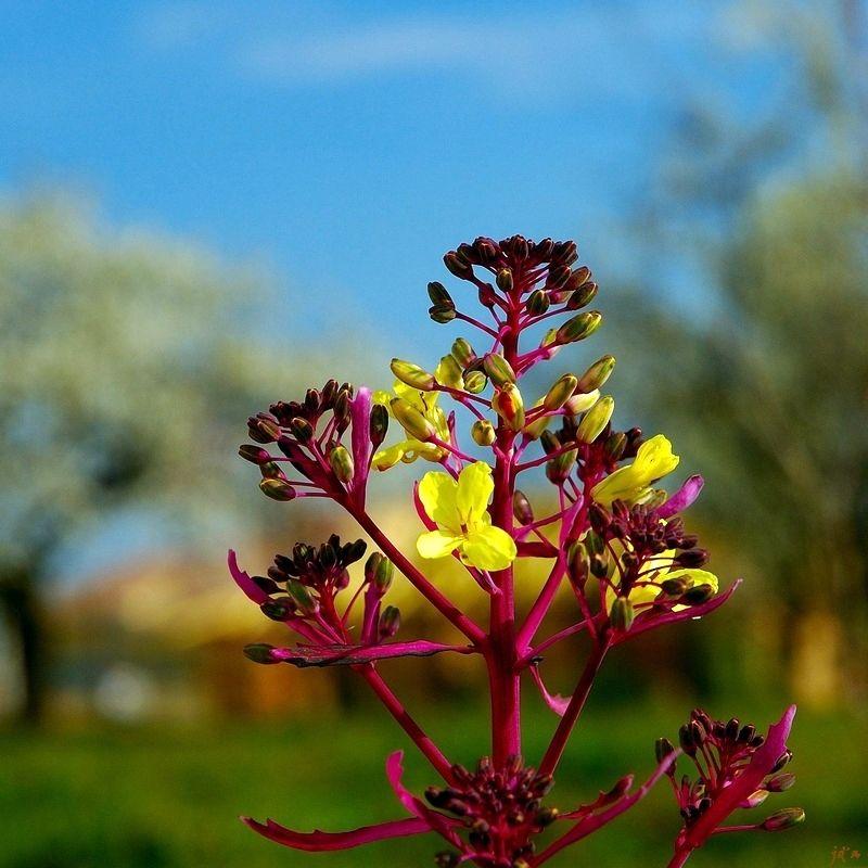 La fleur du chou