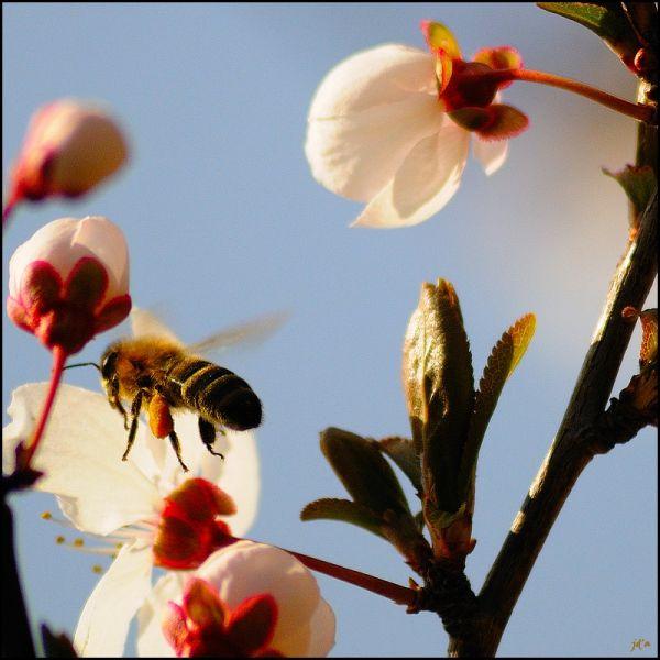 Une abeille butine les fleurs