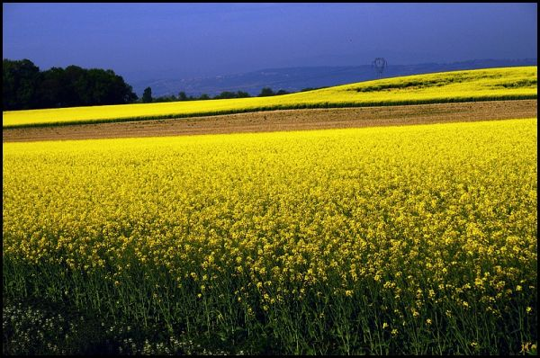 Des champs de colza en fleurs