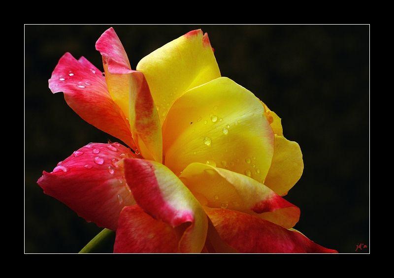 Une rose après l'averse