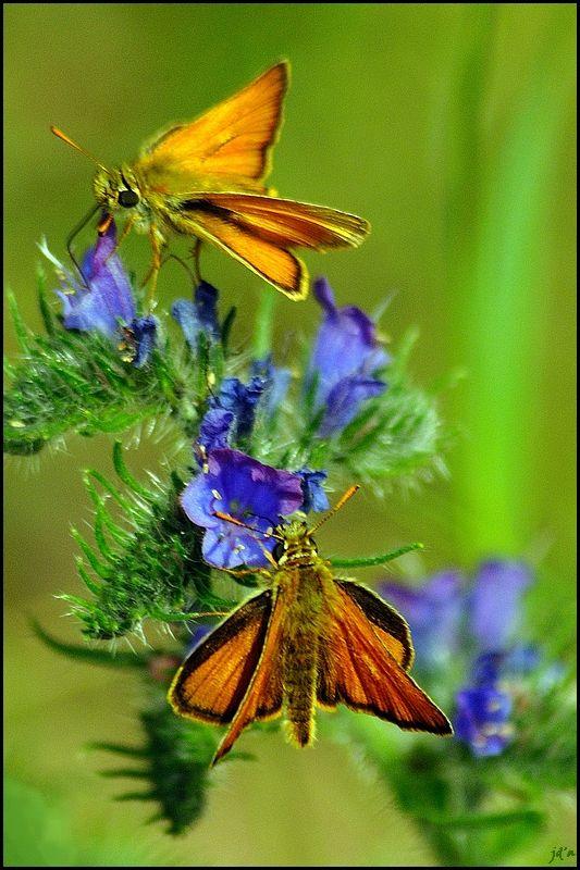 Deux papillons orange sur des vipérines