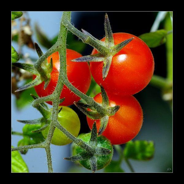 des tomates cerises en macro