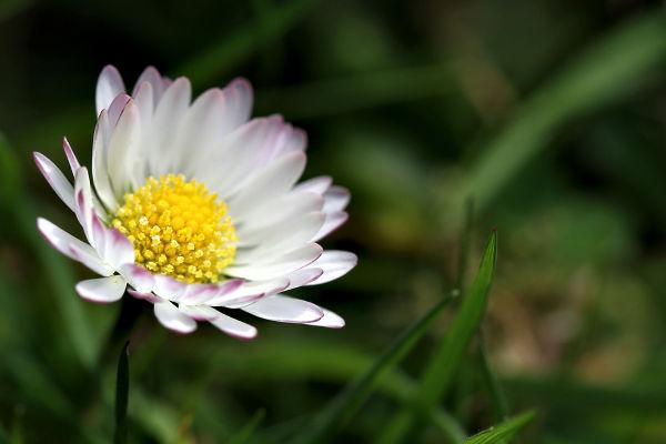Daisy Paquerette