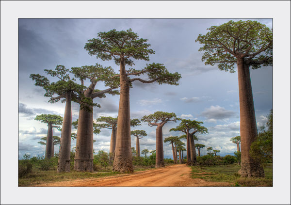 Baobab Alley in Morondava, Madagascar