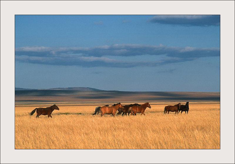 Chevaux dans les steppes de Mongolir
