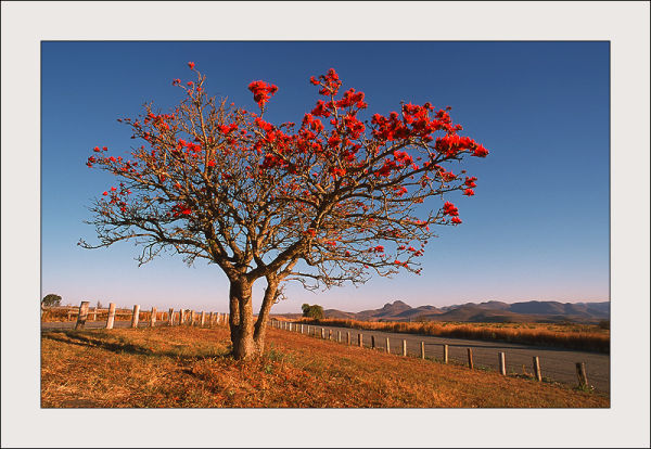 Colored tree in South Africa