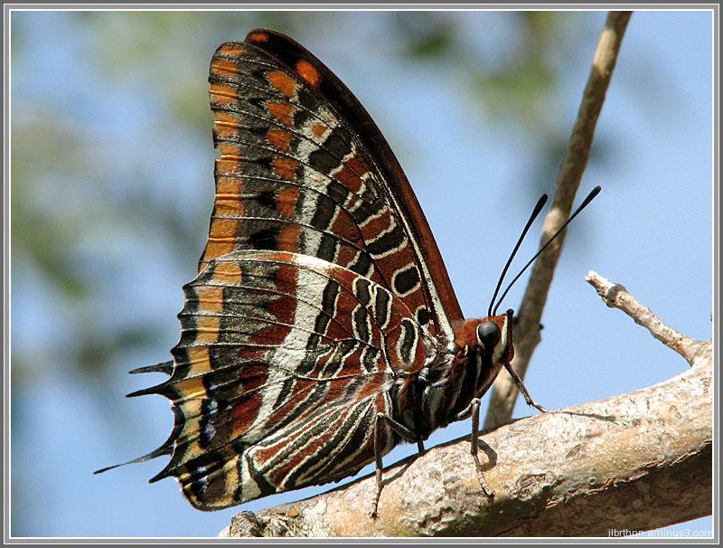 Charaxes jasius butterfly, Causse-de-la-Selle