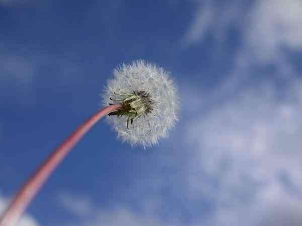 dandelion & sky
