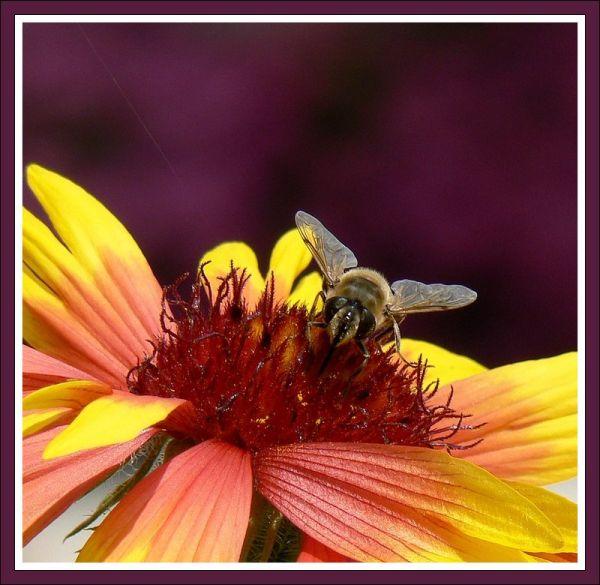 macro of a fly on gaillardia flower