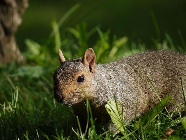 animal squirrel montreal quebec canada