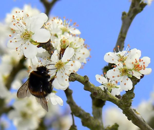 macro insect bumblebee blossoms