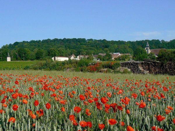 poppies in corn field