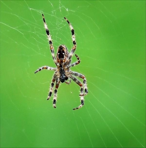 spider on green BG