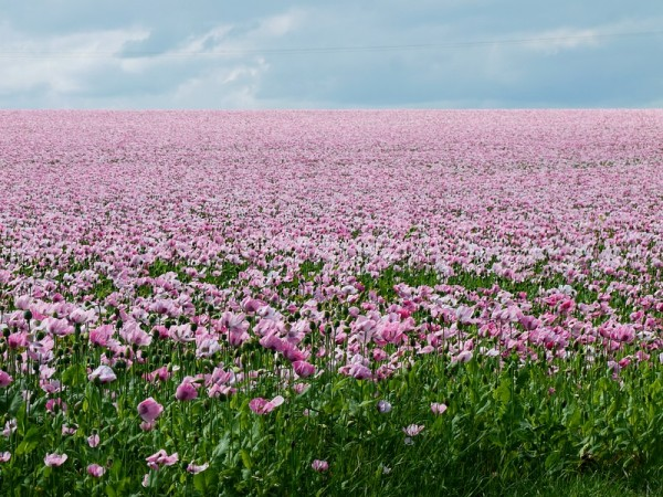 opium poppies 3/8