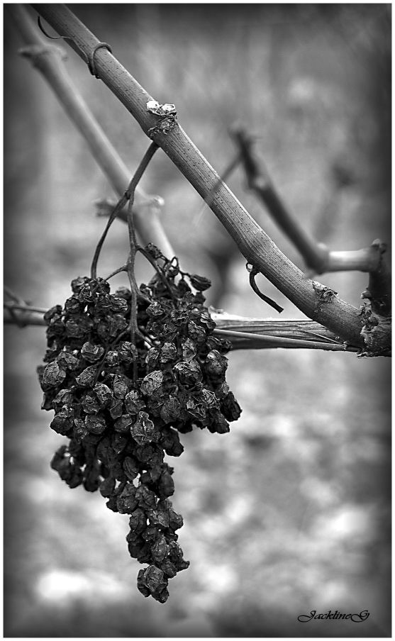 Vendanges tardives ...