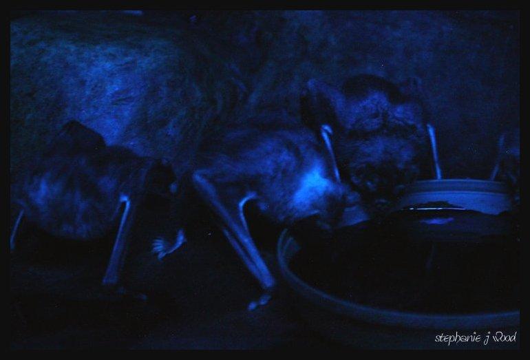 Vampire Bats drinking blood