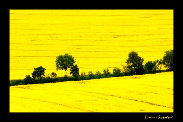 Rape fields