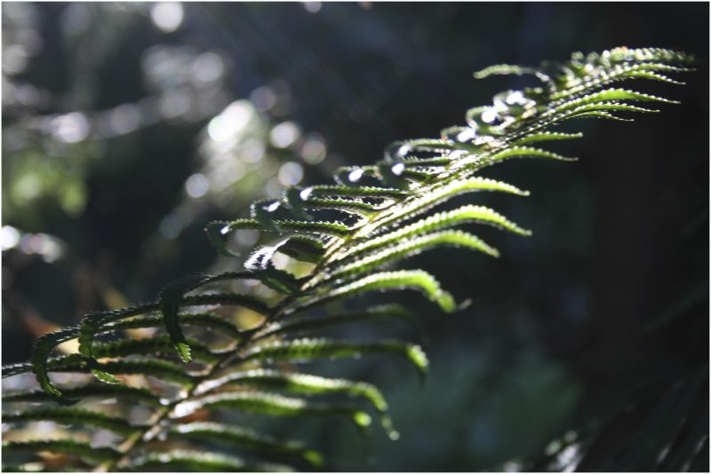 forest fern unfurls