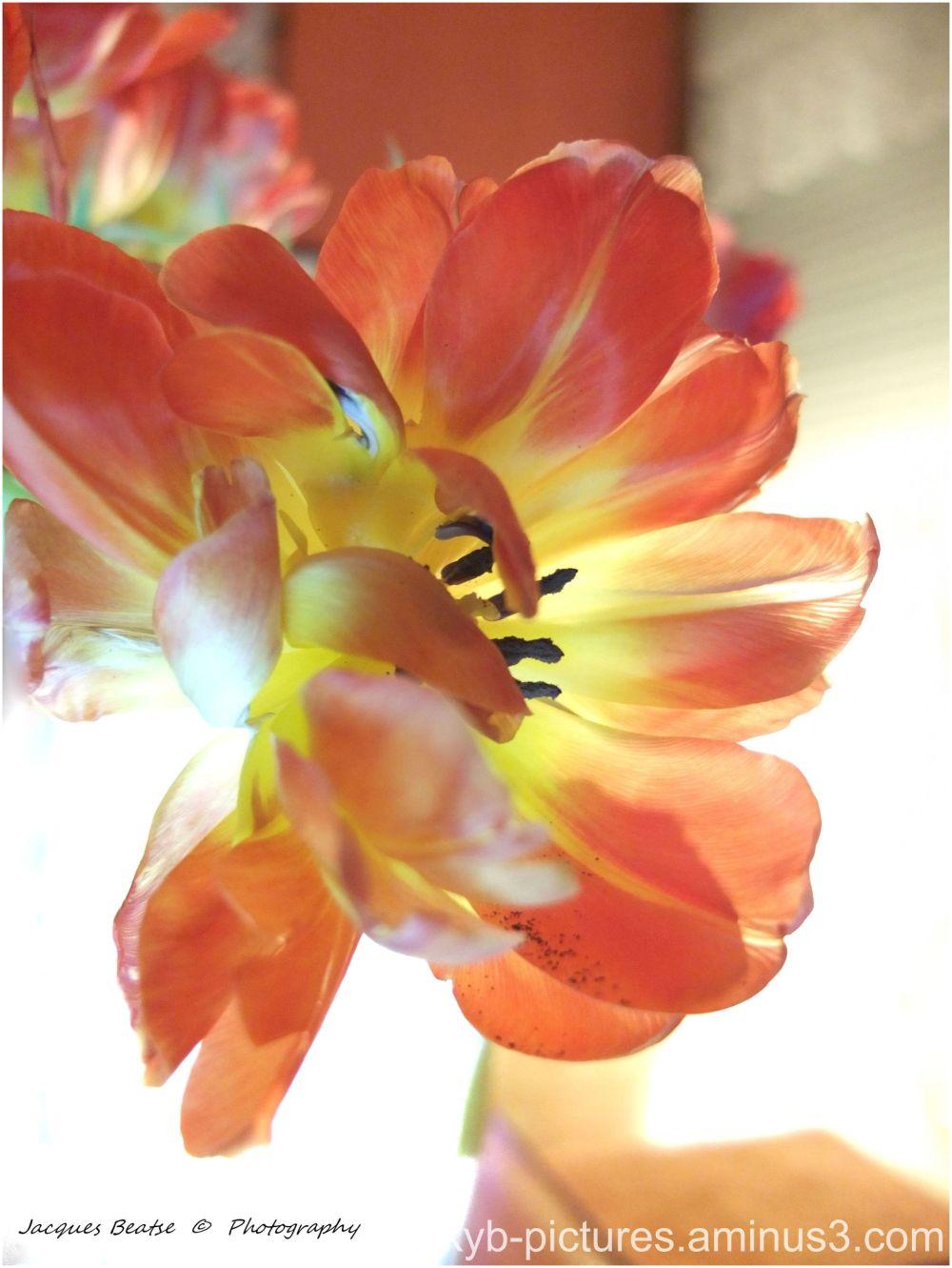La Tulipe..