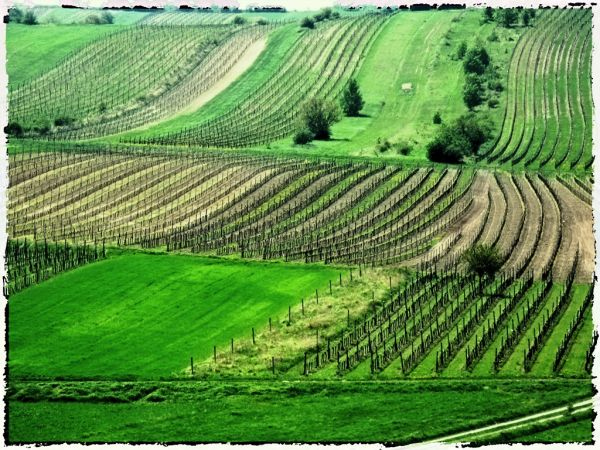 ... hilly vineyards ...  (VIII)