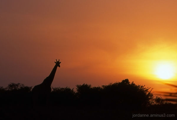 Giraffe at sunset Masai Mara