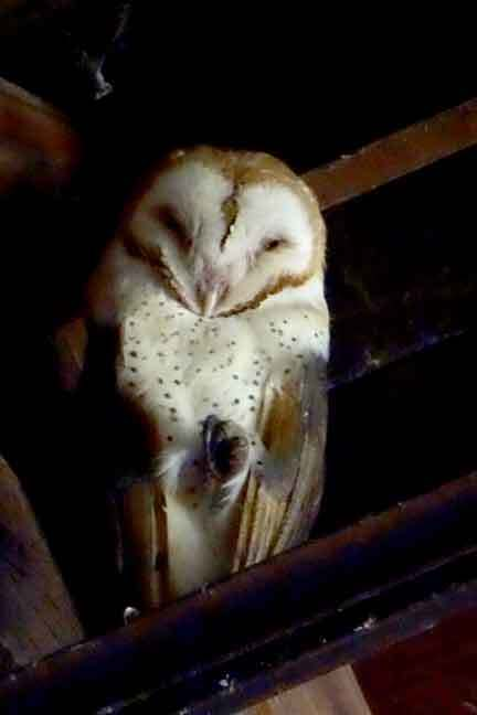 Napping Barn Owl