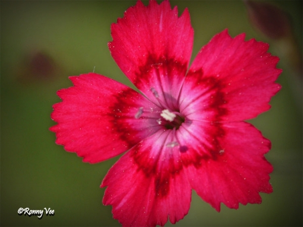 Dianthus Deltoides  - Caryophyllaceae -