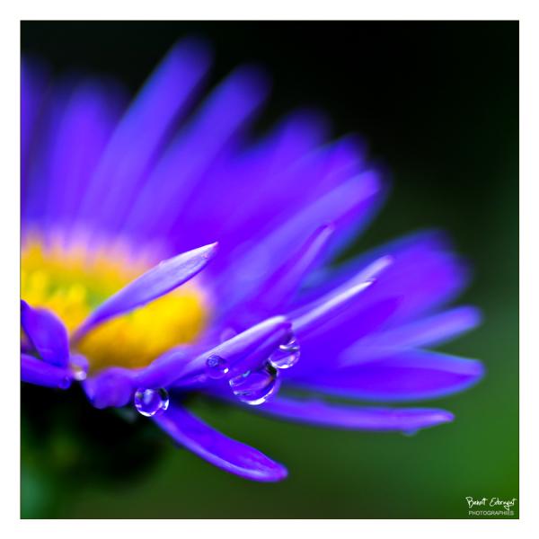 Aster en fleur