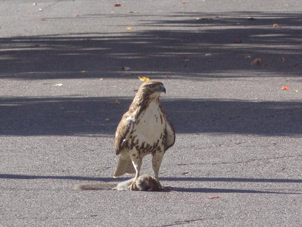hawk with dead squirrel