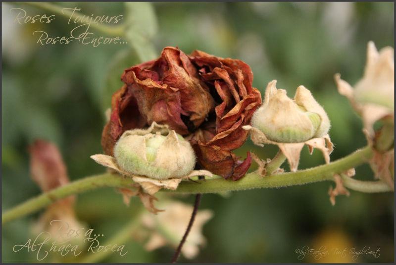 Rose... et roses trémières.. passées..