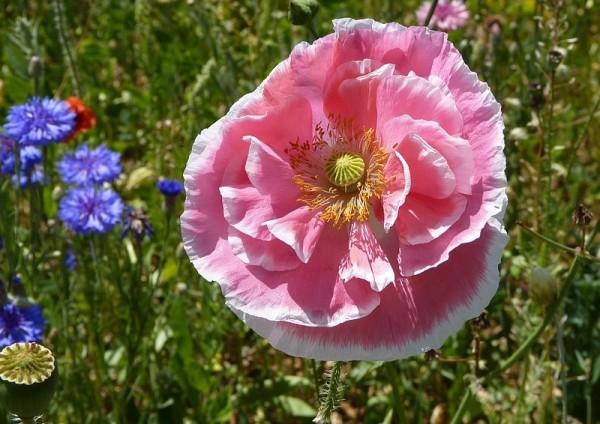 ... en jupon rose ...