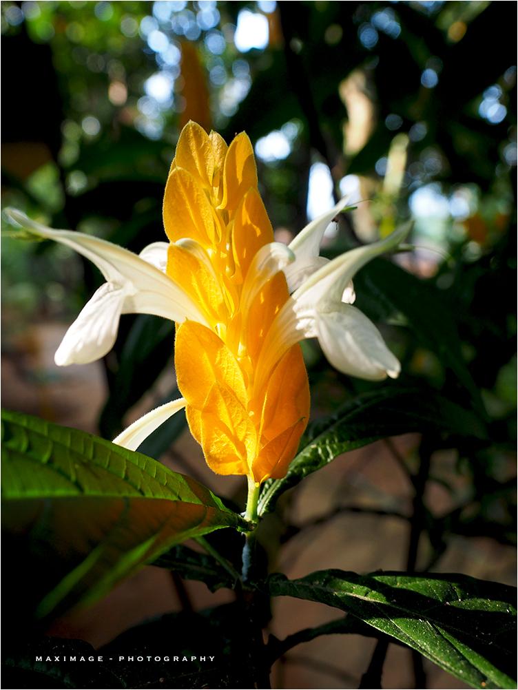 La fleur de cardamome...