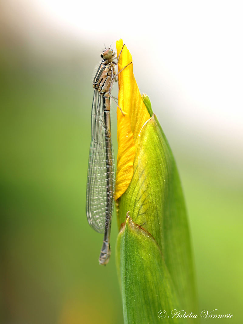 Dragonfly says hello to budding iris