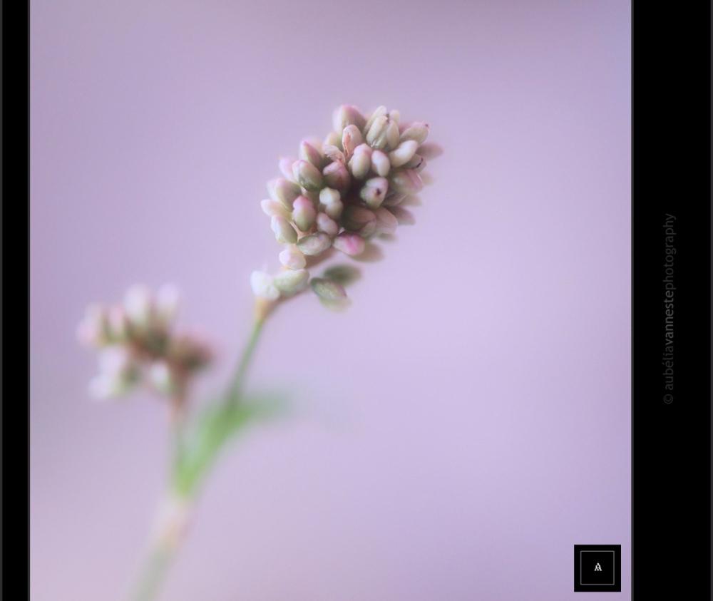 Persicaria lapathifolia (L.) Gray