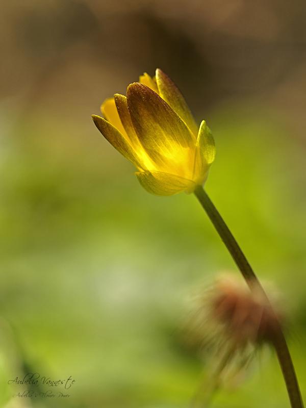 Ranunculus ficaria L.