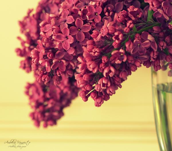 Des lilas, quel parfum délicieux