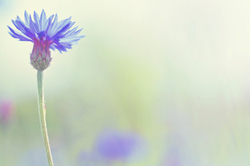 Cornflower in pastel tones