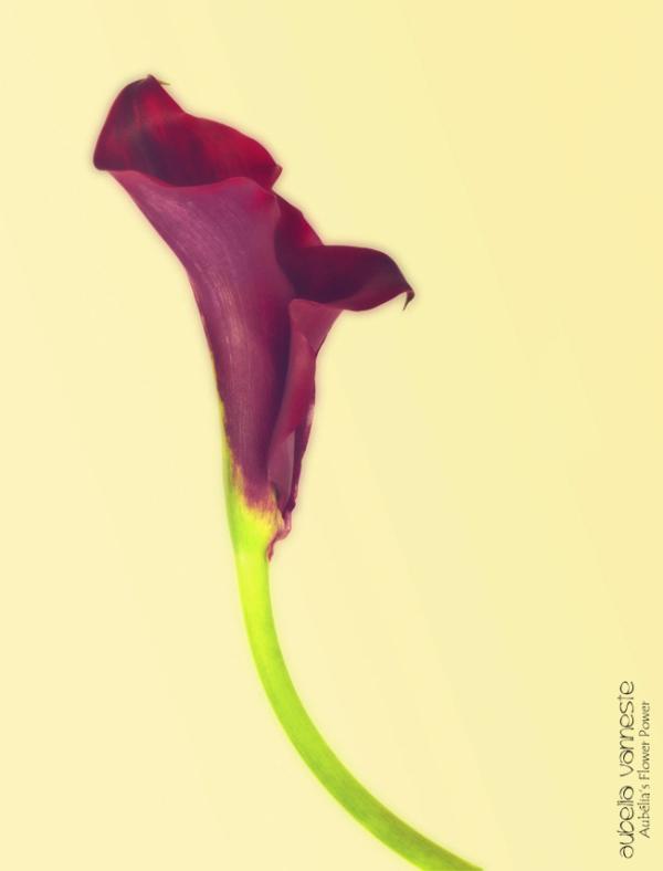 Schwarzwälder black mini calla lily