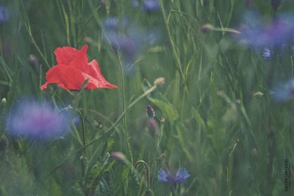 Poppy between the Cornflowers