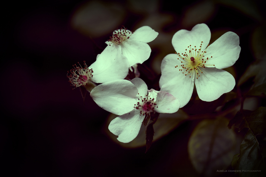 Des Roses, un plaisir pour les yeux