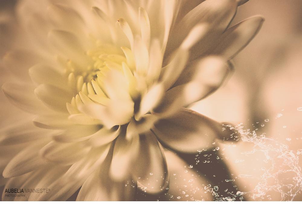 Chrysanthemum  mood