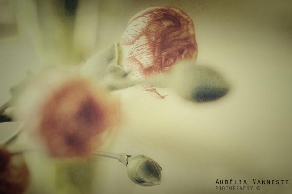 Dianthus mood