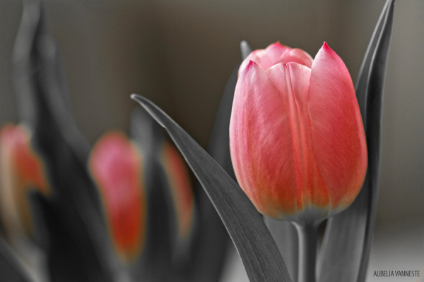Poetry with a Tulip