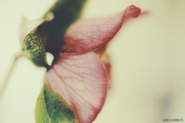 Poetry with a Helleborus